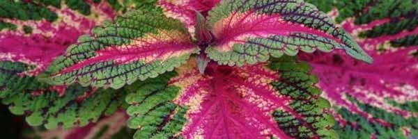 Pistachio Nightmare plant