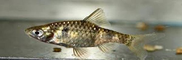 Puntius phutunio fish