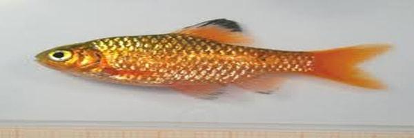 Puntius sophore fish