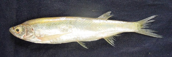 Salmophasia phulo