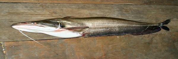 Wallago attu fish