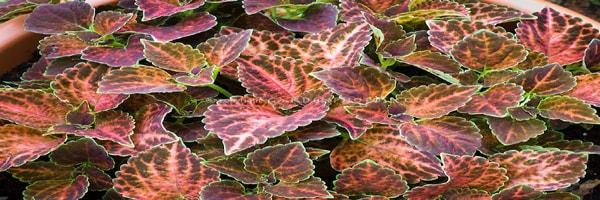 Wizard Mosaic plant