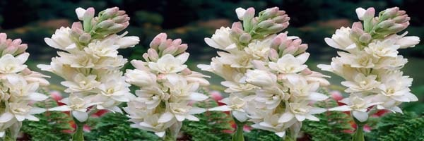 species of Tuberose