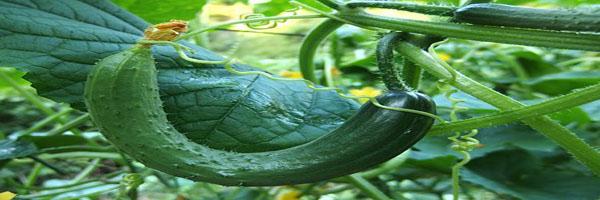 कद्दू वर्गीय सब्जियों की खेती