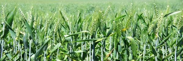 रबी फसलों का भंडारण
